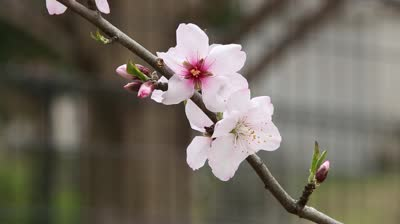 stock-footage-close-up-of-japanese-cherry-flowers-sakura-on-a-cherry-tree